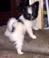 Papillon Puppies for sale in Mound, MN 55364, USA. price: NA