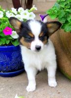 Papillon Puppies for sale in San Diego, CA, USA. price: NA