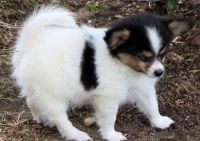 Papillon Puppies for sale in Bristol, ME, USA. price: NA