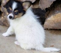 Papillon Puppies for sale in Glastonbury, CT, USA. price: NA