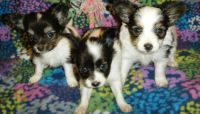 Papillon Puppies for sale in Jacksonville, FL 32238, USA. price: NA