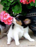 Papillon Puppies for sale in Orlando, FL, USA. price: NA