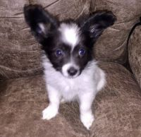 Papillon Puppies for sale in Bozeman, MT, USA. price: NA