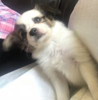 Papillon Puppies for sale in Ohio City, Cleveland, OH, USA. price: NA
