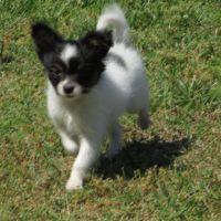 Papillon Puppies for sale in Delmar, DE 19940, USA. price: NA