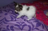 Papillon Puppies for sale in Pittsburgh, PA 15252, USA. price: NA