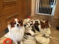 Papillon Puppies for sale in Beverly Hills, CA, USA. price: NA