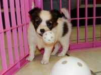 Papillon Puppies for sale in Brooklyn, NY, USA. price: NA