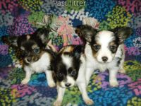 Papillon Puppies for sale in Los Angeles, CA 90012, USA. price: NA