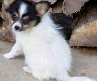Papillon Puppies for sale in Vancouver, WA, USA. price: NA
