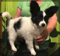 Papillon Puppies for sale in Michigan State Capitol, 100 N Capitol Ave, Lansing, MI 48933, USA. price: NA
