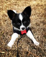 Papillon Puppies for sale in Sandy Springs, GA, USA. price: NA