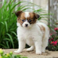Papillon Puppies for sale in Atlanta, GA, USA. price: NA