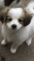 Papillon Puppies for sale in Columbus, GA, USA. price: NA