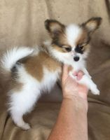 Papillon Puppies for sale in Rowland, PA, USA. price: NA