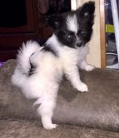 Papillon Puppies for sale in Poland, ME 04274, USA. price: NA