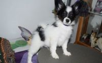 Papillon Puppies for sale in St. Louis, MO 63139, USA. price: NA