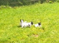 Papillon Puppies for sale in Oakland, CA 94624, USA. price: NA