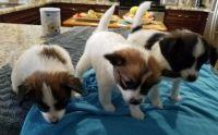 Papillon Puppies for sale in 237 Cape Coral Pkwy E, Cape Coral, FL 33904, USA. price: NA