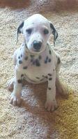 Papillon Puppies for sale in Fernandina Beach, FL 32035, USA. price: NA