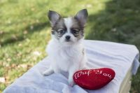 Papillon Puppies for sale in New York County, New York, NY, USA. price: NA