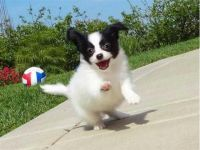 Papillon Puppies for sale in TX-121, Blue Ridge, TX 75424, USA. price: NA