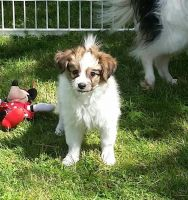 Papillon Puppies for sale in Houston, TX 77012, USA. price: NA