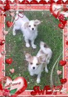 Papillon Puppies for sale in Blaine, WA, USA. price: NA