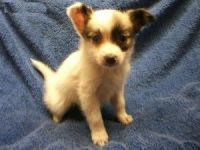 Papillon Puppies for sale in Maryland Parkway, Las Vegas, NV, USA. price: NA