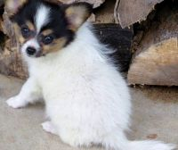 Papillon Puppies for sale in Dickinson, ND 58601, USA. price: NA