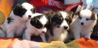 Papillon Puppies for sale in Indianapolis Blvd, Hammond, IN, USA. price: NA