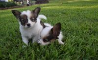 Papillon Puppies for sale in Alexander City, AL, USA. price: NA