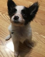 Papillon Puppies for sale in Decatur, AL, USA. price: NA