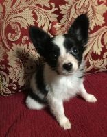 Papillon Puppies for sale in Waldorf, MD, USA. price: NA