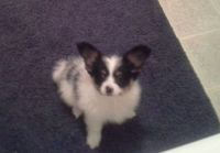 Papillon Puppies for sale in Winston-Salem, NC, USA. price: NA