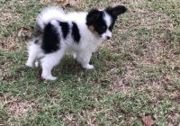 Papillon Puppies for sale in Johnstown, PA, USA. price: NA