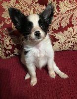 Papillon Puppies for sale in Marietta, GA, USA. price: NA