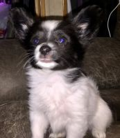 Papillon Puppies for sale in Chappaqua, NY, USA. price: NA