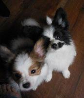 Papillon Puppies for sale in Headrick, OK 73549, USA. price: NA