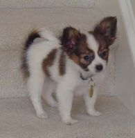 Papillon Puppies for sale in Arkansas City, AR 71630, USA. price: NA