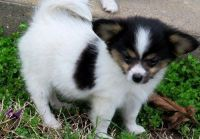 Papillon Puppies for sale in Farmingdale, ME 04344, USA. price: NA