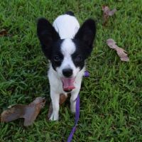 Papillon Puppies for sale in CA-130, San Jose, CA, USA. price: NA