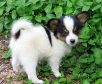 Papillon Puppies for sale in Fargo, ND, USA. price: NA