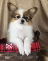 Papillon Puppies for sale in Columbia, SC, USA. price: NA