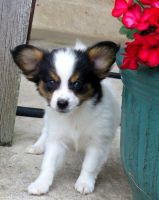 Papillon Puppies for sale in Monticello, AR 71655, USA. price: NA