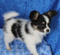 Papillon Puppies for sale in Mississippi Ave, Natchez, MS 39120, USA. price: NA