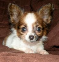 Papillon Puppies Photos