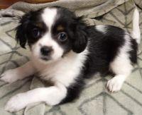 Papillon Puppies for sale in SKOK, WA 98584, USA. price: NA
