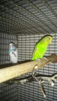 Parakeet Birds for sale in Greenville, NC, USA. price: NA