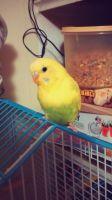 Parakeet Birds for sale in Leavenworth, KS, USA. price: NA